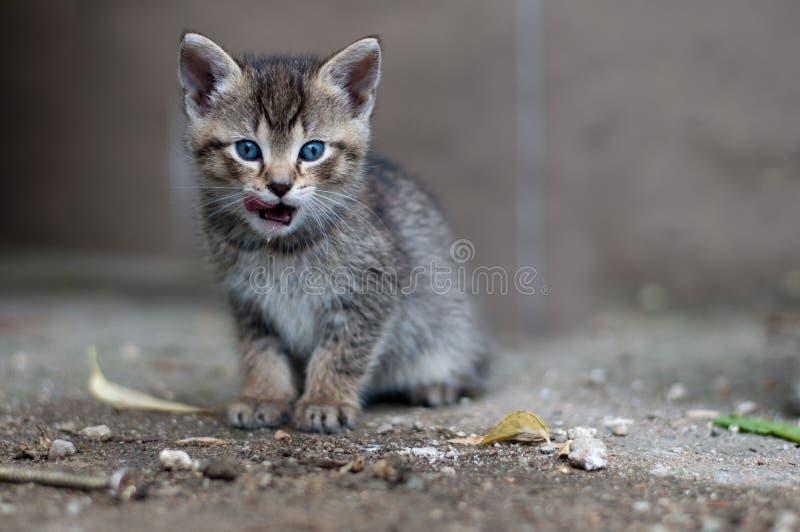 El gatito joven se lame los labios fotos de archivo