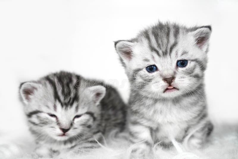 El gatito muestra la lengua imágenes de archivo libres de regalías