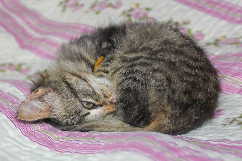El gatito rayado se encrespó para arriba en la cama El gatito duerme en el th fotografía de archivo libre de regalías