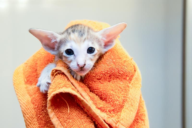 El gatito se envuelve en una toalla fotos de archivo libres de regalías