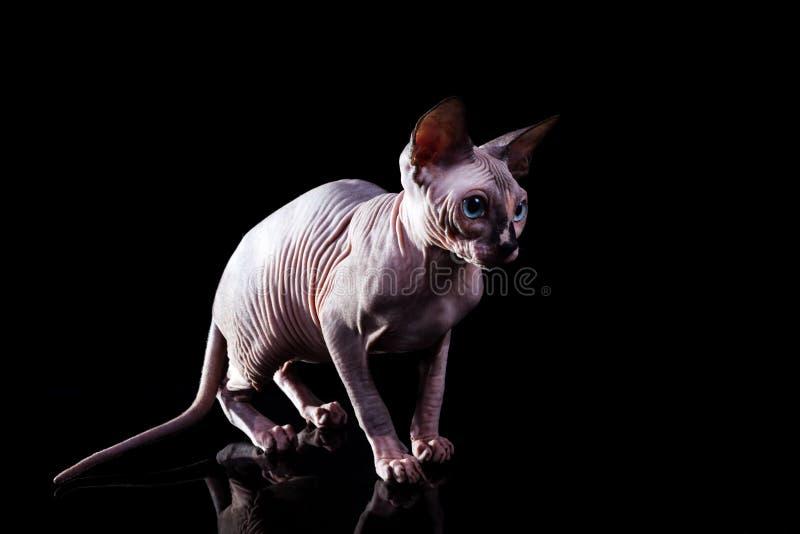 El gatito el Sphynx canadiense en un fondo oscuro imagen de archivo libre de regalías