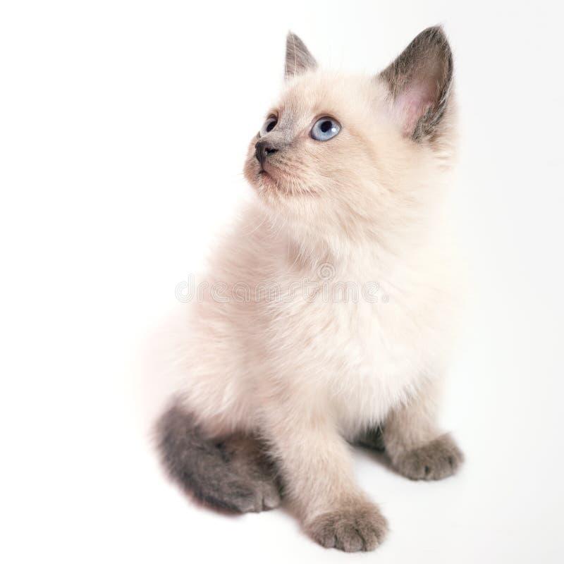 El gatito tailandés con los ojos azules se incorpora y mira, el fondo blanco foto de archivo libre de regalías