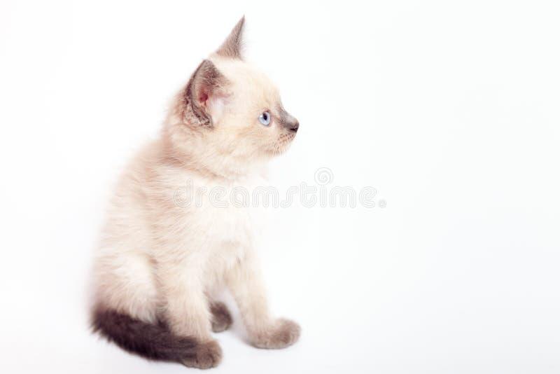 El gatito tailandés con los ojos azules se sienta y mira fondo dejado, blanco foto de archivo libre de regalías