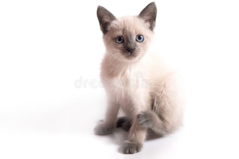 El gatito tailand?s con los ojos azules se incorpora y mira, el fondo blanco imagenes de archivo