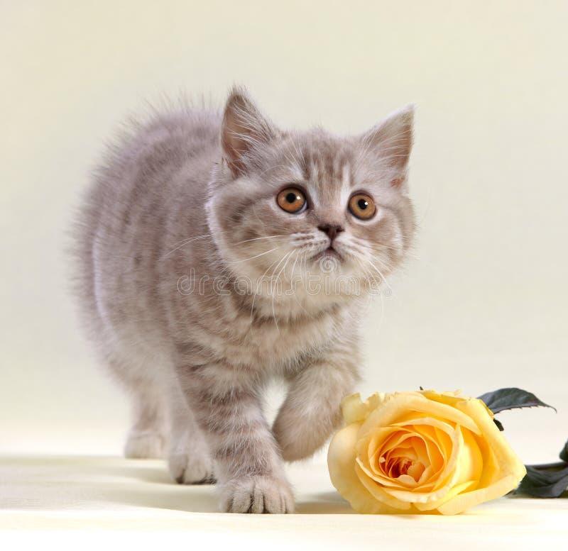 El gatito y el amarillo se levantaron fotografía de archivo libre de regalías