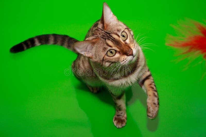 El gato adulto de Bengala está jugando con su juguete fotografía de archivo libre de regalías