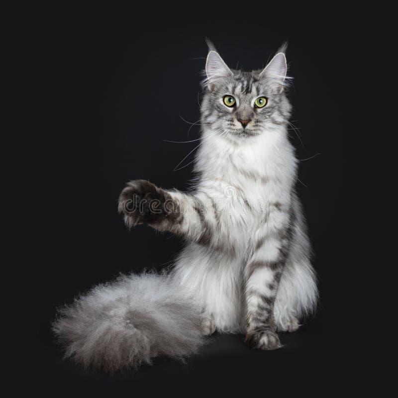 El gato adulto joven de Maine Coon del gato atigrado de plata majestuoso que se sienta haciendo frente al frente con la cola enor fotografía de archivo