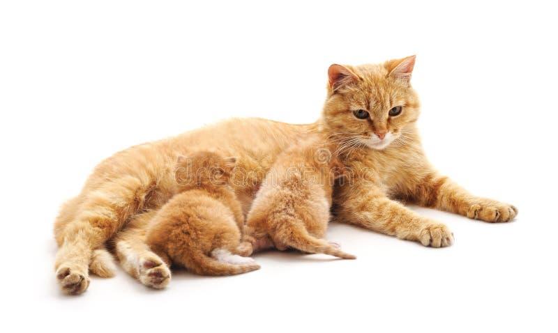 El gato alimenta gatitos fotografía de archivo libre de regalías