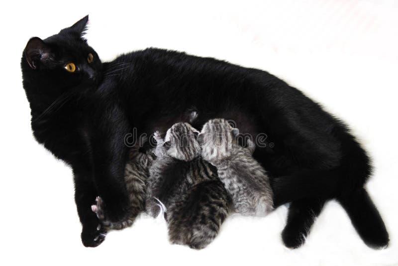 El gato alimenta los gatitos imagen de archivo