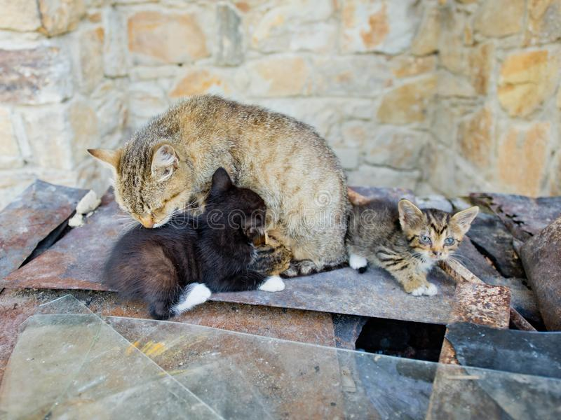 El gato alimenta pequeños gatitos foto de archivo