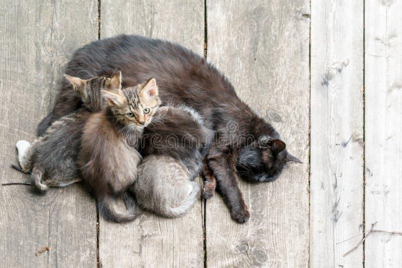 El gato alimenta su leche en gatitos jovenes Gato que cuida sus peque?os gatitos, cierre para arriba imagen de archivo