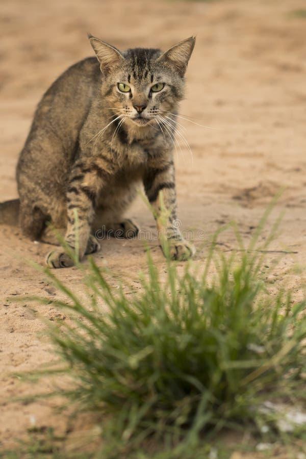 El gato asustadizo que miraba fijamente la cámara prepeared para atacar Lente macra imagen de archivo