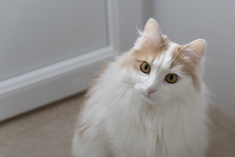El gato beige blanco casero anticipa ascendente cercano del bozal Mirada atenta e interesada En un fondo ligero imagen de archivo libre de regalías