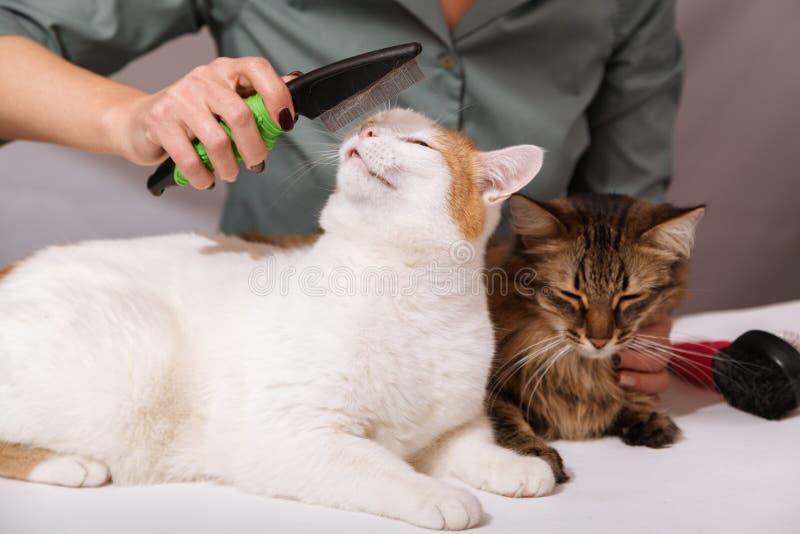 El gato blanco miente y goza el peinarse, y el gato rayado lo está esperando después El concepto de cuidado de animales de compañ imágenes de archivo libres de regalías
