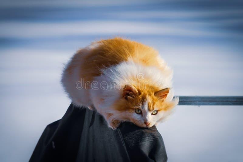 El gato blanco-rojo mullido toma el sol en el sol de la primavera imágenes de archivo libres de regalías