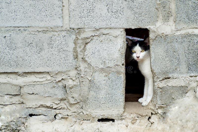 El gato blanco y negro es oculta en la pared y el look ahead, fondo animal del bloque de cemento imagenes de archivo