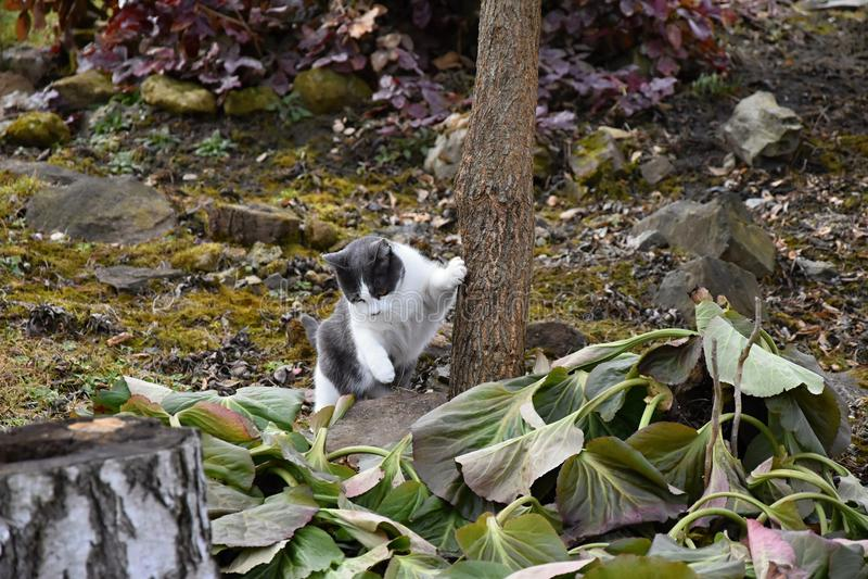El gato blanco y negro se está inclinando contra un árbol en el jardín imagen de archivo