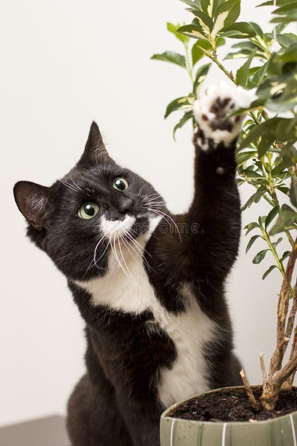 El gato blanco y negro toca una planta de la casa - ficus imágenes de archivo libres de regalías