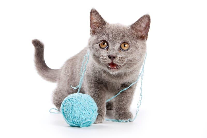 El gato británico del gatito gris con una bola de lanas maúlla aislado en blanco imagenes de archivo