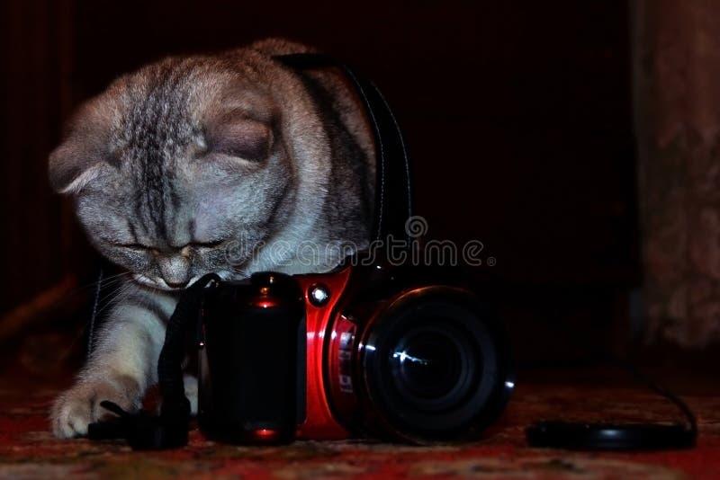 El gato británico del shorthair del gato atigrado puso la cámara para tirar foto de archivo libre de regalías