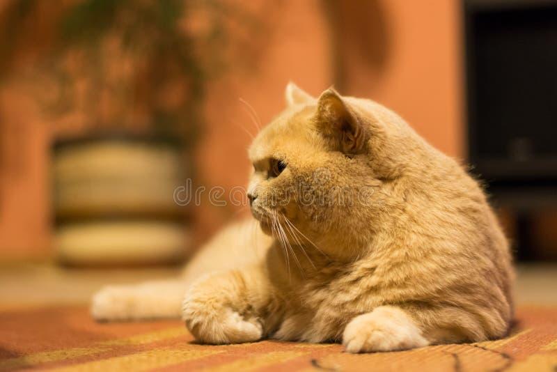 El gato británico del shorthair es mentira perezosa en la alfombra Relajación adorable nacional del gato imagenes de archivo
