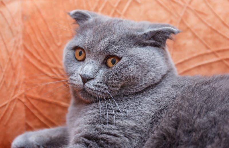 El gato británico joven está esperando el anfitrión fotografía de archivo libre de regalías