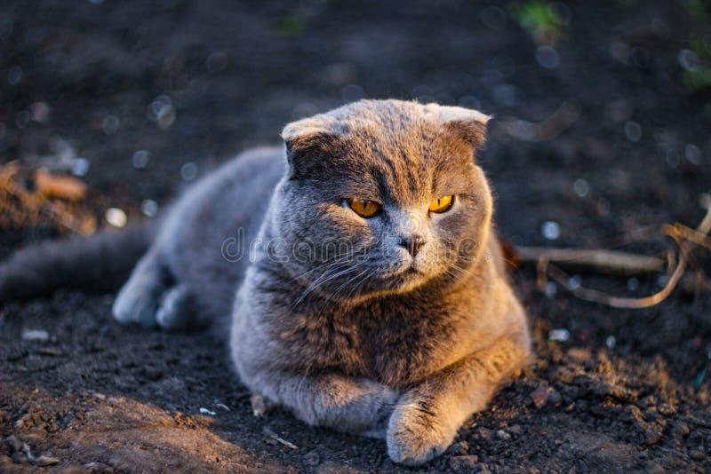 El gato británico que descansa sobre la tierra después de los días camina imagenes de archivo