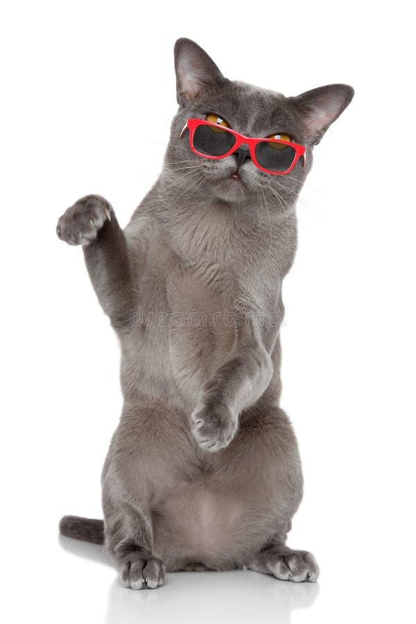El gato británico se sienta en gafas de sol fotografía de archivo libre de regalías