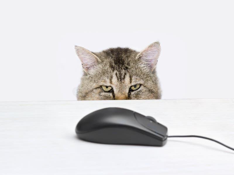 El gato busca un ratón del ordenador imagenes de archivo