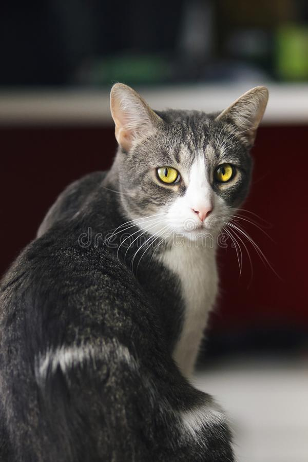 El gato casero rayado gris hermoso se sienta mitad-dado vuelta foto de archivo libre de regalías