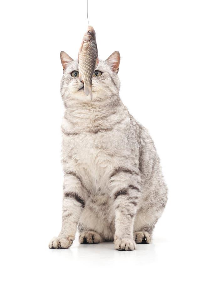 El gato come pescados fotos de archivo