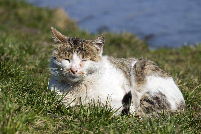 El gato con los ojos de una conjuntivitis toma el sol en el sol que miente en la hierba verde imágenes de archivo libres de regalías