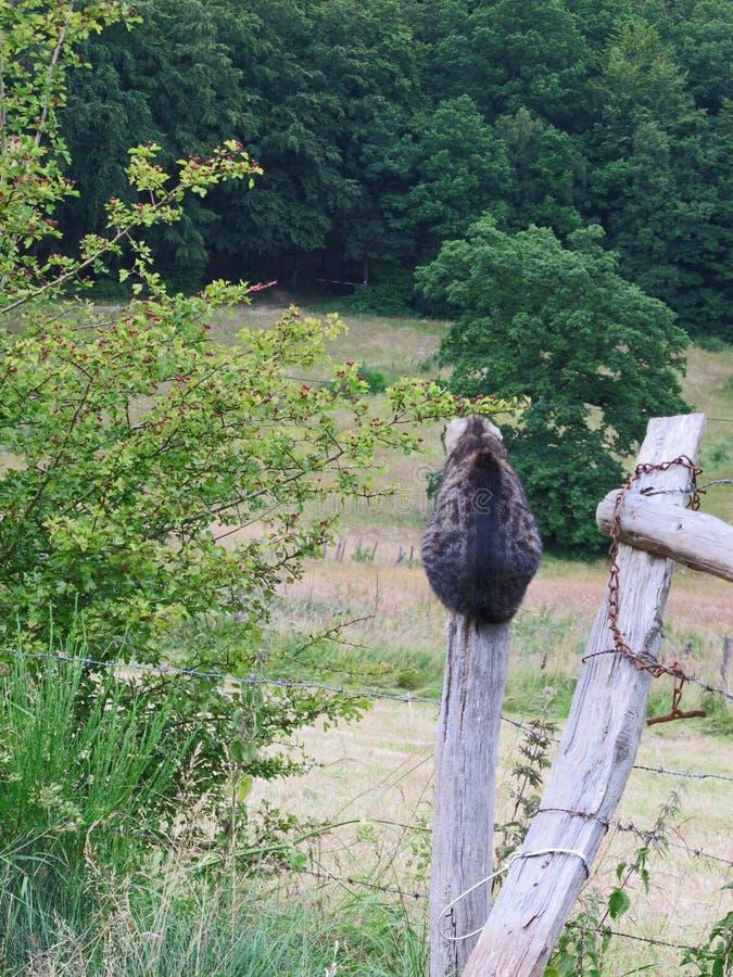 El gato de gato atigrado femenino se encaramó en un polo de madera en los ratones que esperaban del campo para fotos de archivo libres de regalías