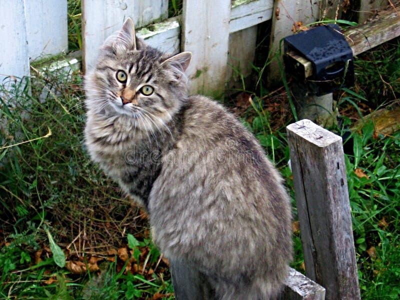El gato de gato atigrado gris y de plata que le mira con la perforación observa imagenes de archivo