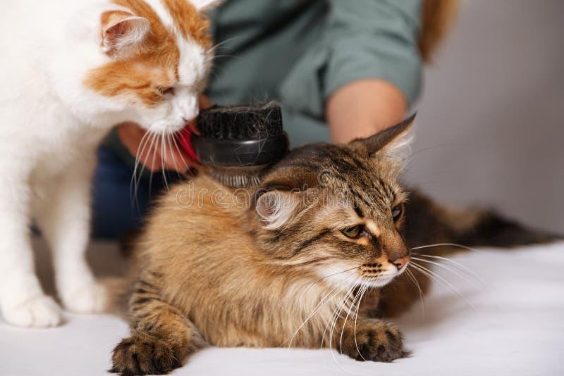 El gato de gato atigrado pone y goza el peinarse y el otro gato lo está mirando El concepto de cuidado de animales de compañía fotos de archivo libres de regalías