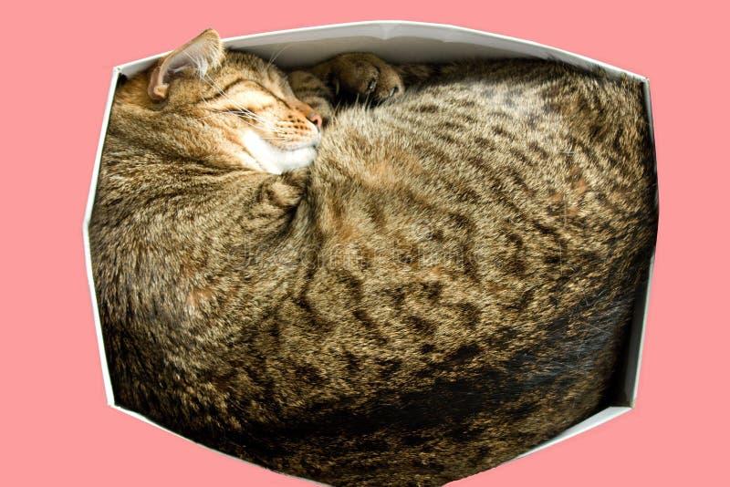 El gato de gato atigrado que duerme en una caja de cartón de los zapatos foto en fondo rosado fotos de archivo libres de regalías