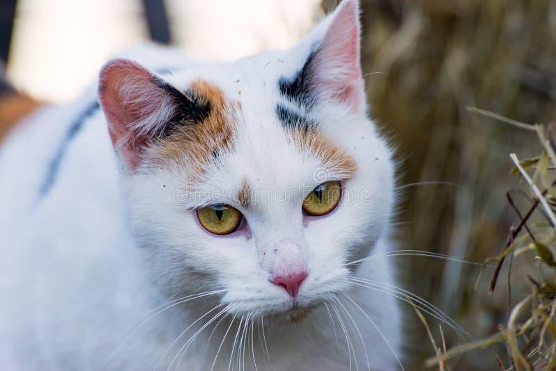 El gato de calicó foto de archivo libre de regalías