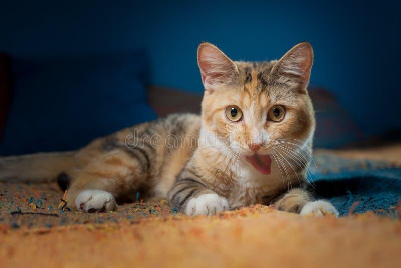 El gato de calicó miente en una tela escocesa multicolora fotografía de archivo libre de regalías