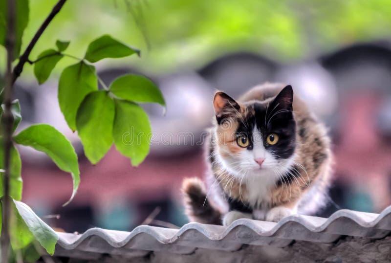 El gato de calicó mira de un tejado de la pizarra foto de archivo libre de regalías