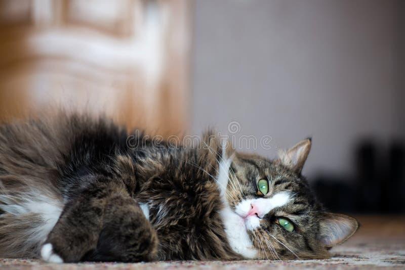 El gato de casa miente en la parte posterior en la alfombra imagen de archivo