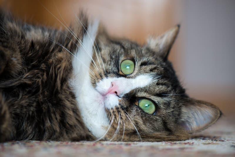 El gato de casa miente en la parte posterior en la alfombra foto de archivo libre de regalías