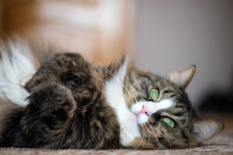 El gato de casa miente en la parte posterior en la alfombra fotografía de archivo libre de regalías