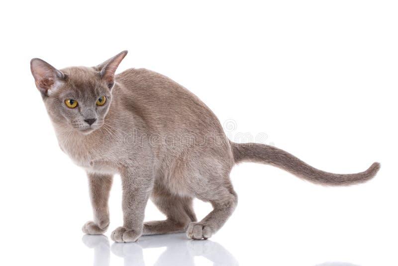 El gato de Gray Burmese se sienta en blanco fotografía de archivo