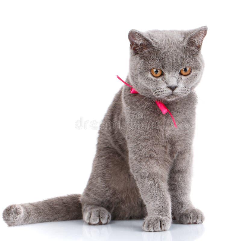 El gato de Grey Scottish Fold con la cinta rosada que se sienta en blanco, mira abajo fotografía de archivo libre de regalías