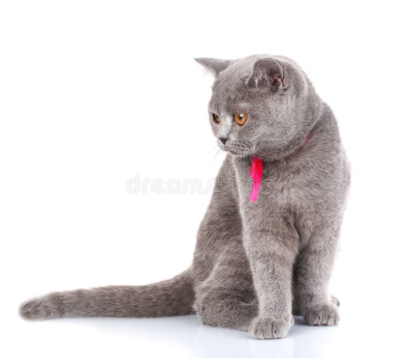 El gato de Grey Scottish Fold con la cinta rosada que se sienta en blanco, mira abajo imágenes de archivo libres de regalías
