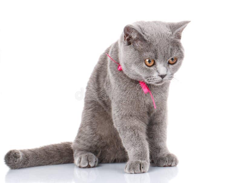 El gato de Grey Scottish Fold con la cinta rosada que se sienta en blanco, mira abajo foto de archivo libre de regalías