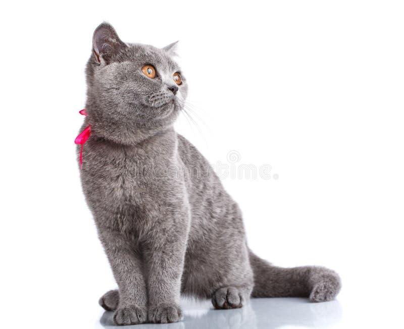 El gato de Grey Scottish Fold con la cinta rosada que se sienta en blanco, mira para arriba imagenes de archivo
