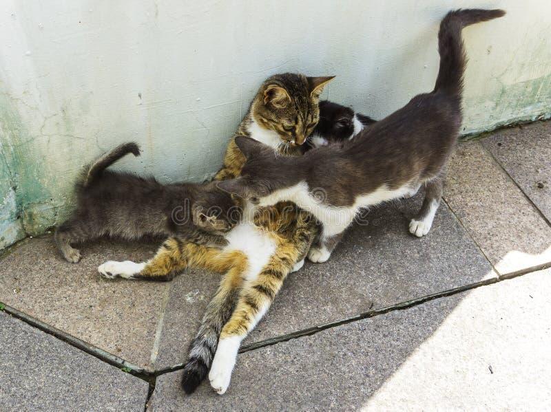 El gato de la madre que alimenta y que toma el cuidado de tres gatitos en el piso de piedra en los gatitos del parque bebe la lec foto de archivo libre de regalías