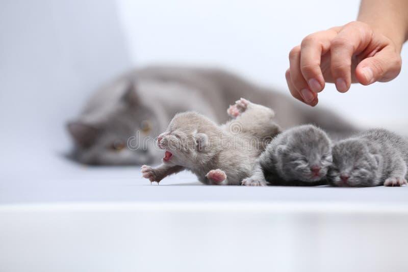 El gato de la madre toma el cuidado de sus gatitos recién nacidos imagen de archivo