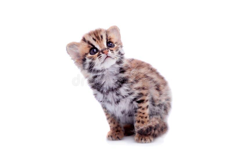 El gato de leopardo asiático en blanco fotografía de archivo